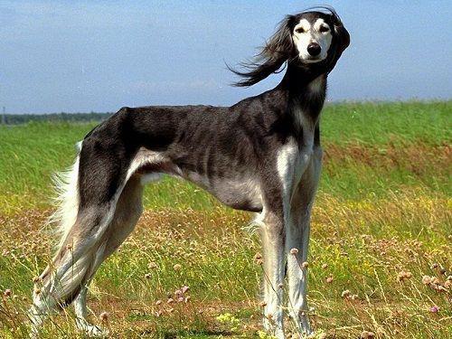 Внешний вид хортой борзой по стандарту породы, типы и окрас шерсти, особенности ухода за собакой