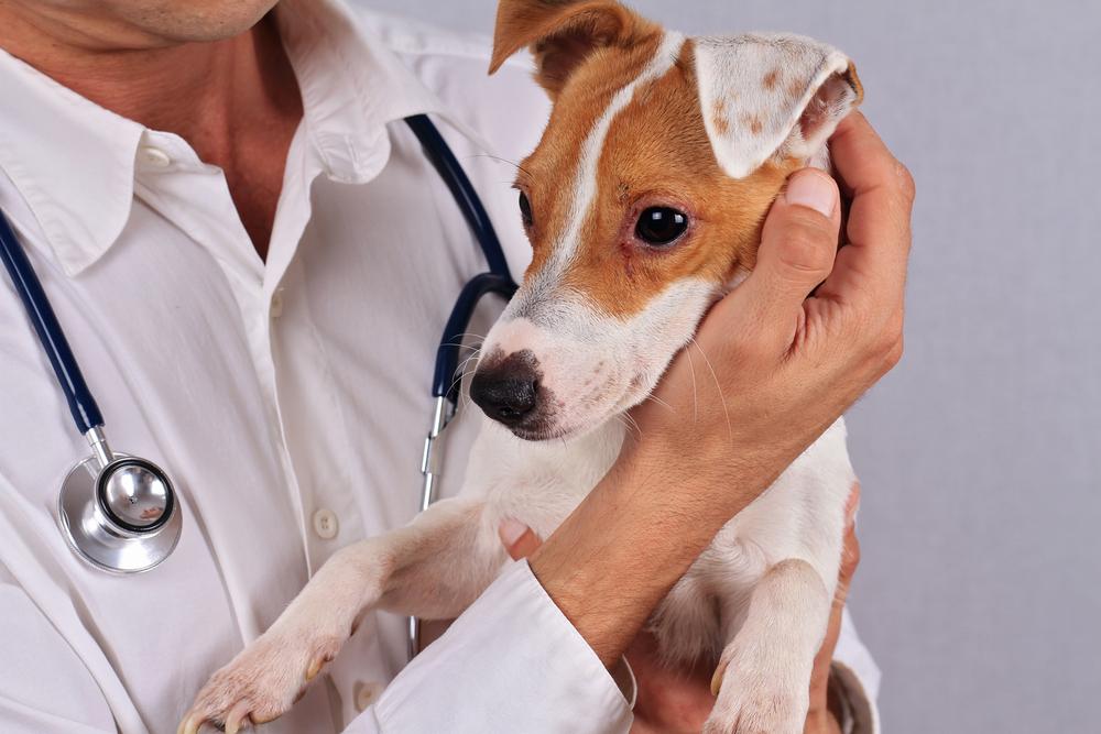 Кожные заболевания собак — как выглядят, чем лечить 26