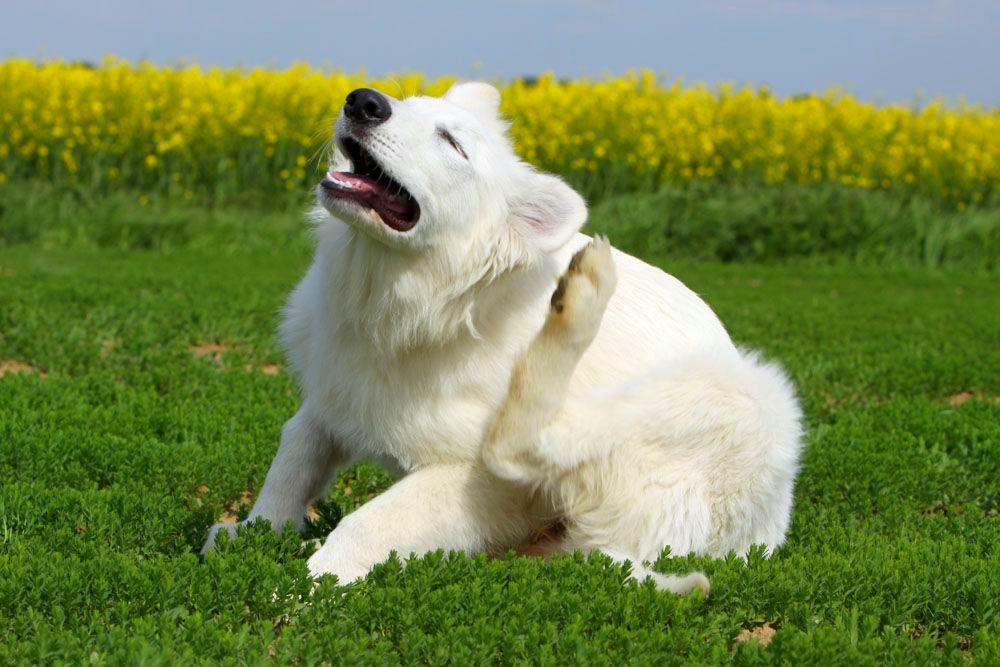 Аллергия у собак: что делать, лечение, симптомы, фото 8