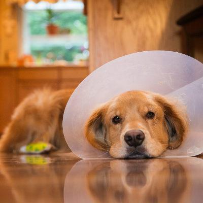 Минусы и плюсы кастрации собак: в каком возрасте лучше кастрировать питомца, нужно это делать или нет?