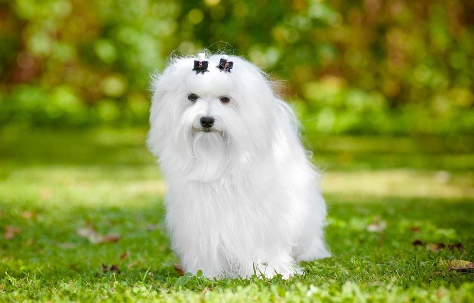 Гипоаллергенные породы собак Топ-30 собак для аллергиков и астматиков 5