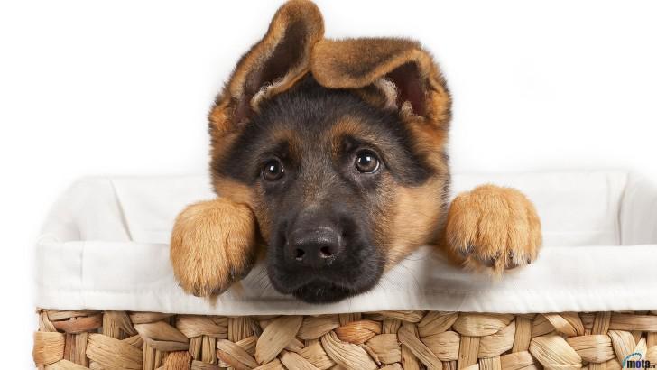 Как воспитать щенка немецкой овчарки и как правильно ухаживать за ним в домашних условиях?