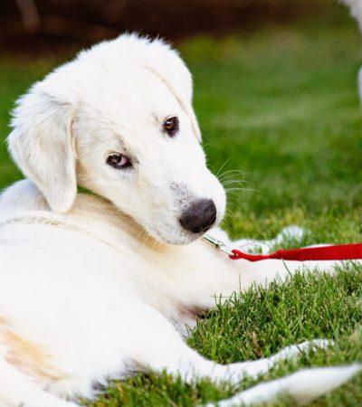 Акбаш: стандарт породы с фото, характер собаки, особенности ухода и разведения