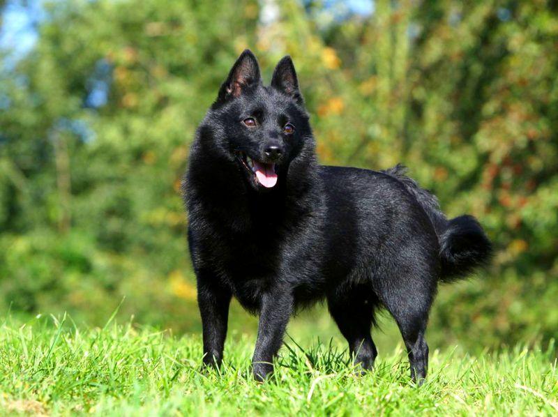 Описание породы шипперке с фото: внешний вид собаки, ее характер и особенности содержания