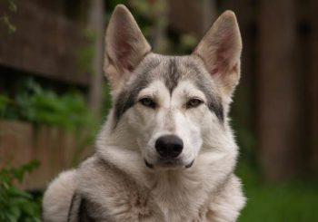 Внешний вид северной инуитской собаки и другие характеристики по стандарту породы, содержание инуита