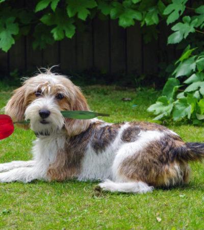 Описание вандейского бассет-гриффона с фото: особенности породы и рекомендации по уходу за собакой