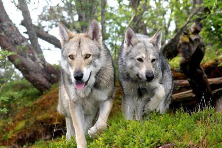 Описание волчьей собаки Сарлоса, похожей на волка: внешний вид, характер и рекомендации собаководам