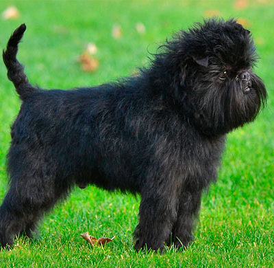 Аффенпинчер: стандарт породы с фото, описание характера собаки, особенности ухода