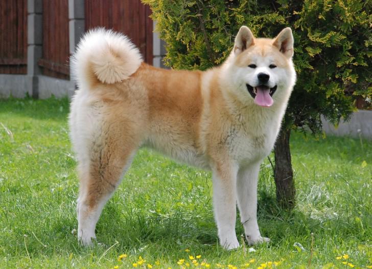 Порода Хатико: характеристика японской собаки Акита ину, содержание и уход, дрессировка