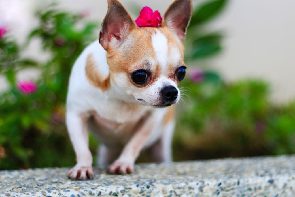 Чихуахуа: стандарт породы, виды и описание с фото, особенности ухода за собакой
