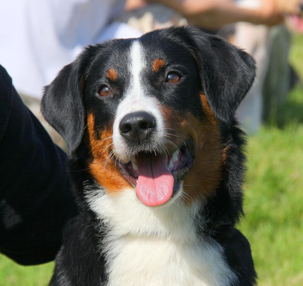 Описание аппенцеллер зенненхунда с фото, содержание швейцарской породы собак, правила выбора щенка в питомнике