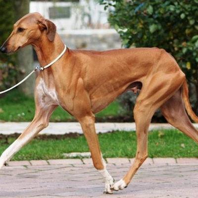 Порода собак азавак, или африканская борзая: описание с фото, особенности ухода за животным