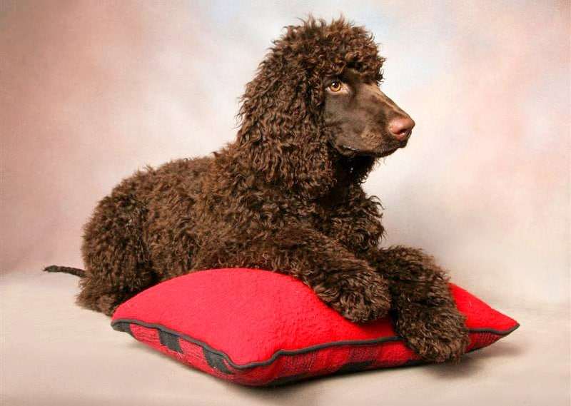 Гипоаллергенные породы собак Топ-30 собак для аллергиков и астматиков 3