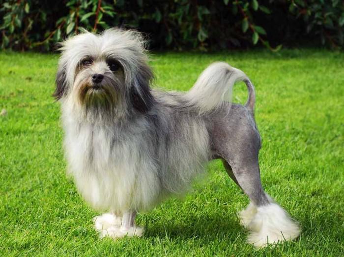 Внешний вид и фото лион-бишона, описание породы, особенности ухода за собакой