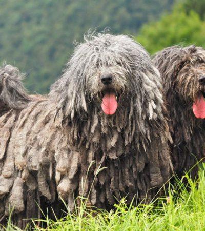 Названия и фото самых смешных пород собак в мире, особенности их содержания