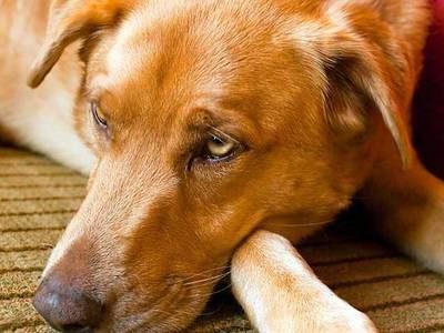 Симптомы глистной инвазии у собак и лечение в домашних условиях: как понять, что у питомца глисты?