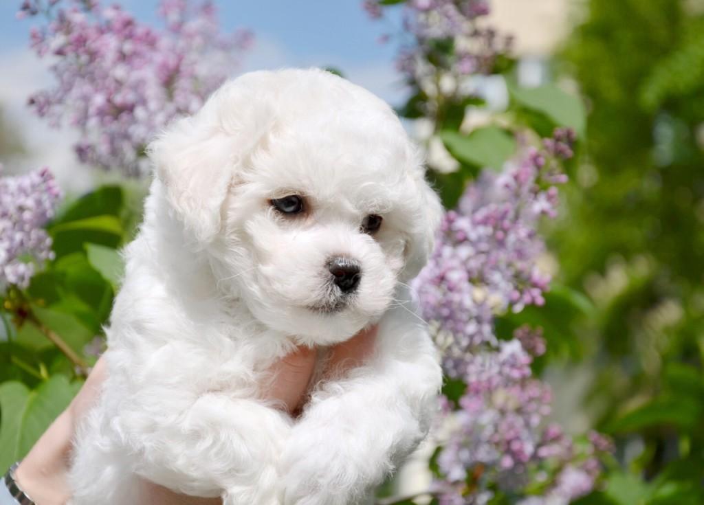 Самые популярные породы собак с пушистой шерстью белого и иного окраса с названиями и фотографиями