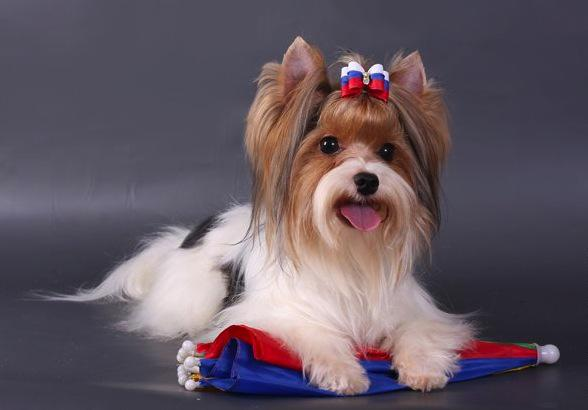 Содержание бивер йорка, описание породы с фото, характер собаки и особенности разведения
