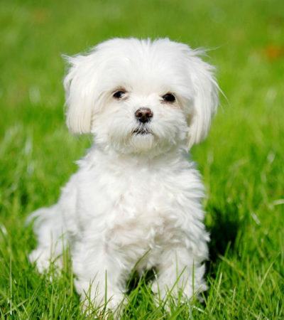 Породы собак с окрасом шерсти белого цвета: названия и описание с фото