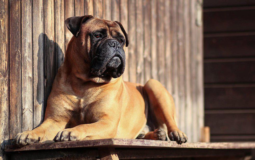 фото собак бульмастиф открытые