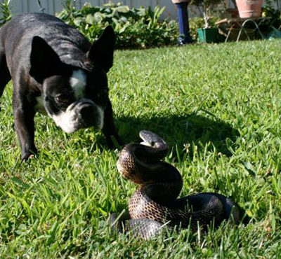 Что делать, если змея укусила собаку, а до ветеринара далеко: симптомы и лечение