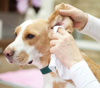 Почему у собаки из ушей плохо пахнет: причины появления сильного неприятного запаха, лечение возможных заболеваний