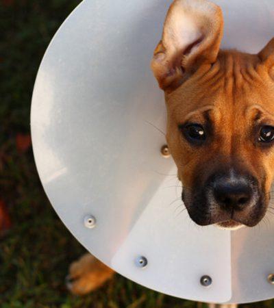 Срок восстановления собаки после кастрации, стерилизации и других операций, уход в послеоперационный период