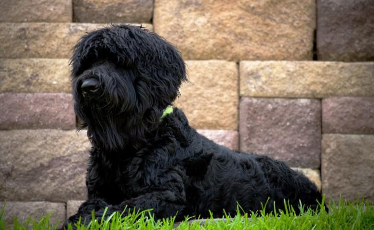 Русский черный терьер: характеристика породы, фото и видео щенков и взрослых собак
