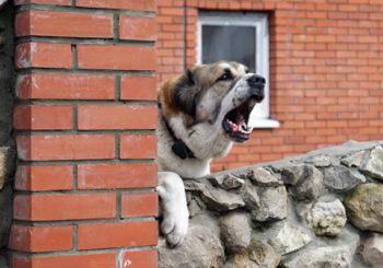 Популярные породы сторожевых собак для охраны частного дома с названиями, описанием и фото