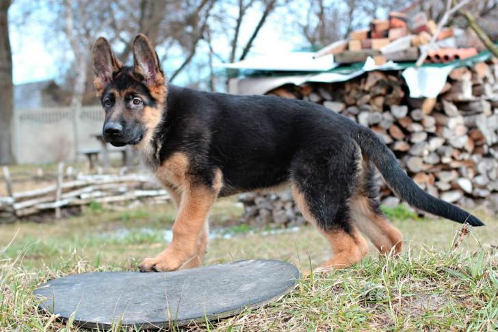 Развитие щенка немецкой овчарки: вес и рост собаки по месяцам с фото
