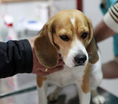 Причины пиометры у собак, симптомы с фото и лечение гнойного воспаления матки, уход в послеоперационный период