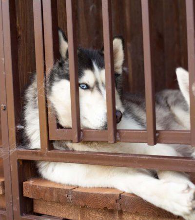Как содержать хаски в условиях квартиры или частного дома, можно ли держать пса на цепи: особенности ухода и содержания