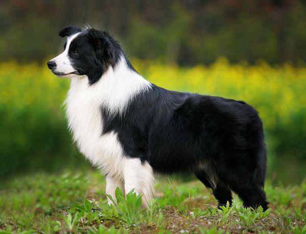 Собаки с самым высоким интеллектом: рейтинг умных пород по версии кинологов