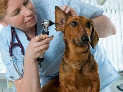 Почему у собаки течет жидкость из ушей, а их кончики покрыты болячками, корочкой и кровоточат?