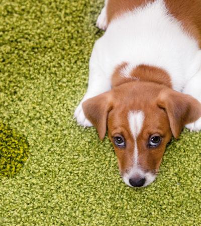 Как отучить взрослую собаку или щенка писать и гадить дома, научить пса не оправляться во дворе?