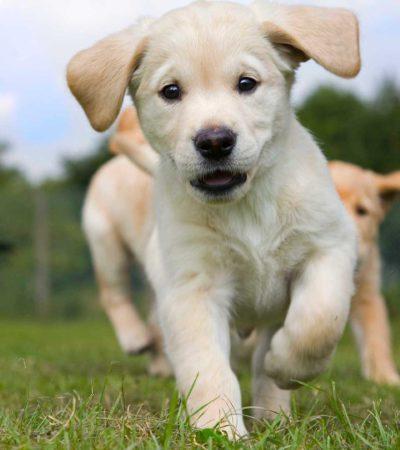 Как научить щенка или взрослую собаку командам в домашних условиях: основы самостоятельной дрессировки