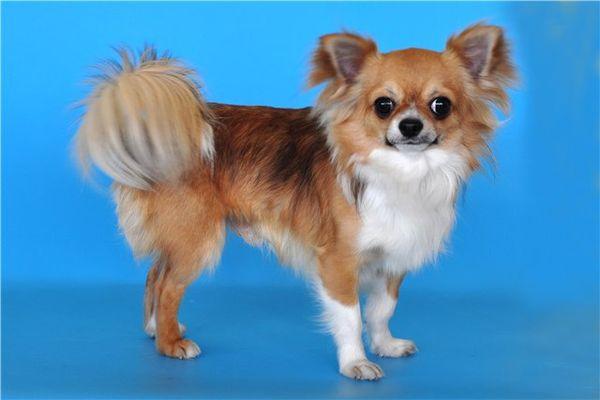 Описание длинношерстного чихуахуа с фото, особенности породы, окрасы собак и рекомендации по выбору щенка