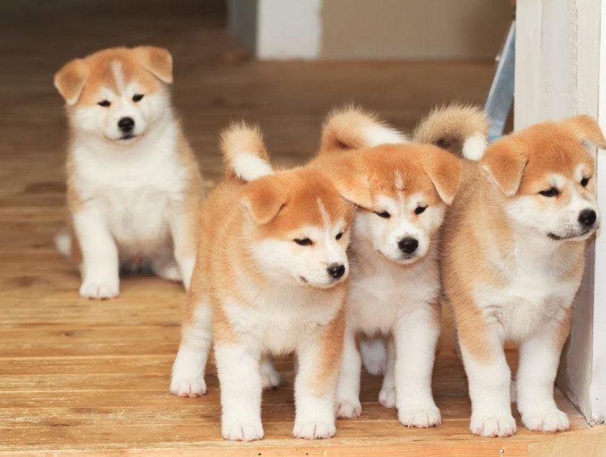 Самые популярные породы японских собак: описания с названиями и фотографиями