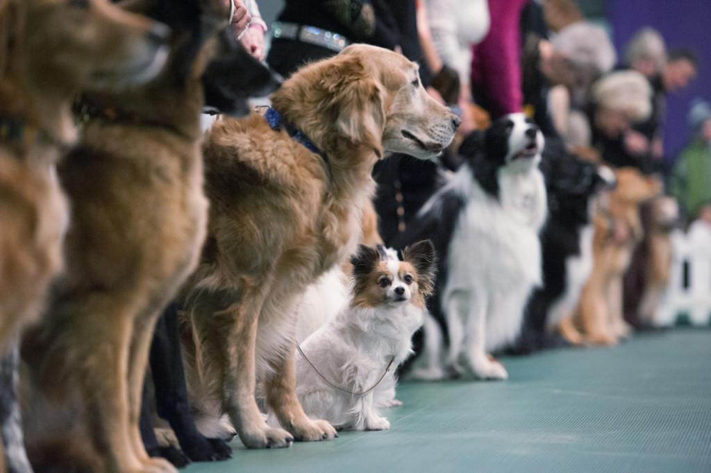 Самые дорогие породы собак в России и мире: описание с фото и названиями