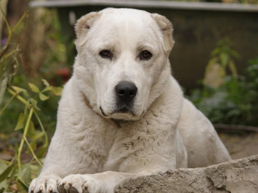 Алабай: внешний вид среднеазиатской овчарки на фото, происхождение, разновидности и характеристика породы собак