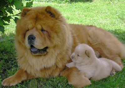 Описание китайских пород собак с фотографиями и названиями, особенности содержания питомцев
