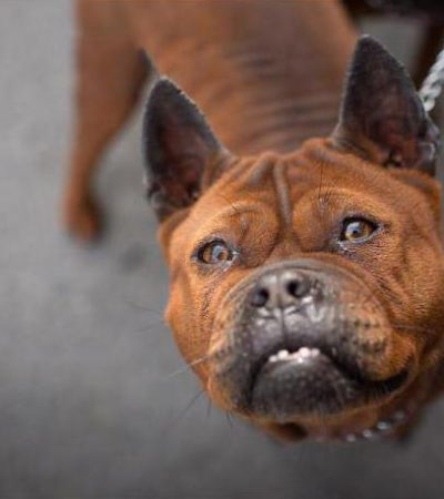 Чунцин: стандарт породы с фото, описание характера собаки, содержание китайского бульдога
