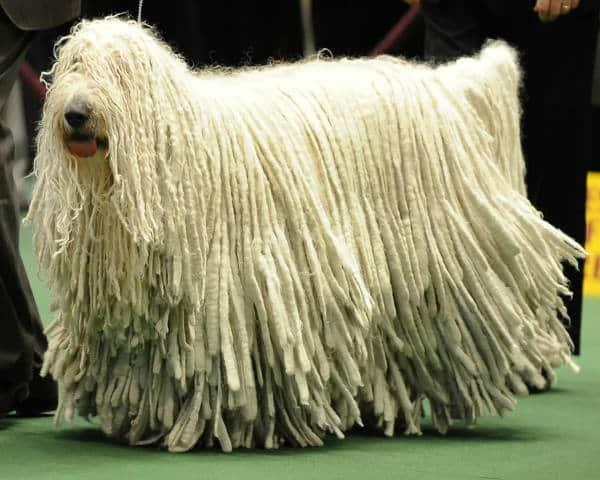 Порода «венгерская пастушья собака»: описание и фото овчарки с дредами, особенности содержания лохматого комондора