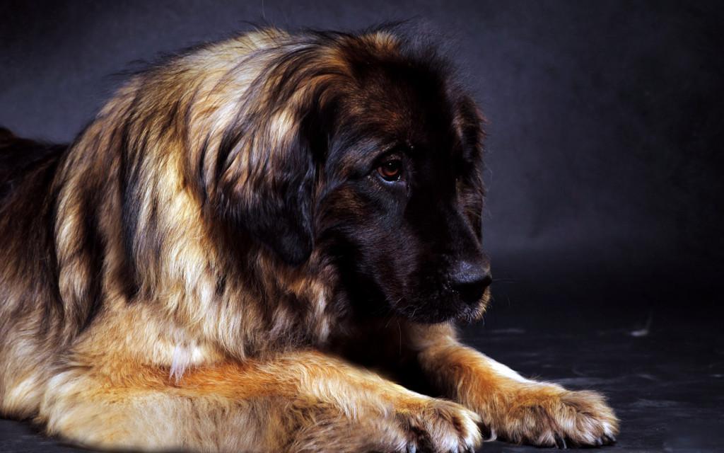 Описание и фото леонбергера, характеристика породы, особенности содержания и социализации и правила выбора щенка