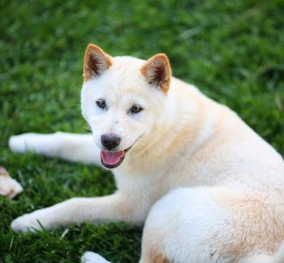 Описание и фото корейского чиндо, или джиндо, особенности содержания собаки этой породы