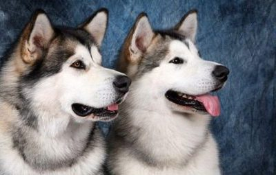 Хаски и маламут: отличия, характеристики пород с фото собак, плюсы и минусы