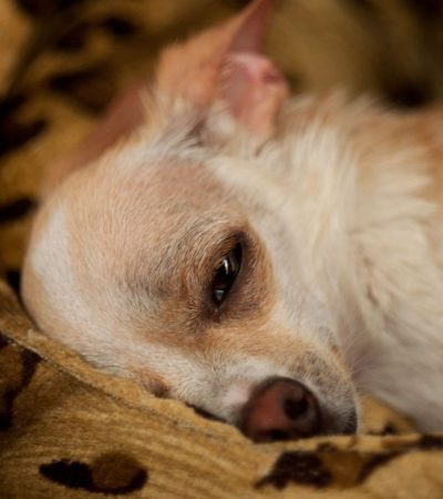Симптомы опухоли молочной железы и мастопатии у собак с фото, лечение в домашних условиях, прогноз