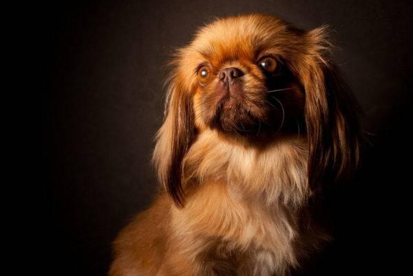 Пекинес: стандарт породы, внешние характеристики собаки с фото, особенности ухода и разведения