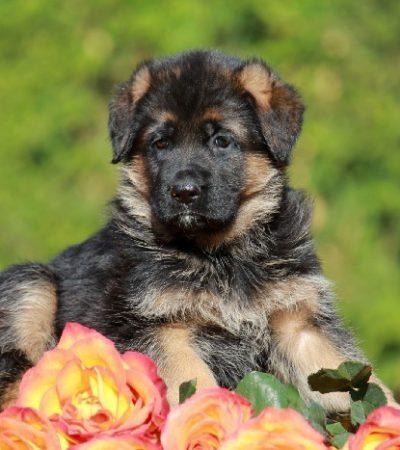 Как подобрать кличку немецкой овчарке – мальчику или девочке: популярные и редкие имена для крупной собаки