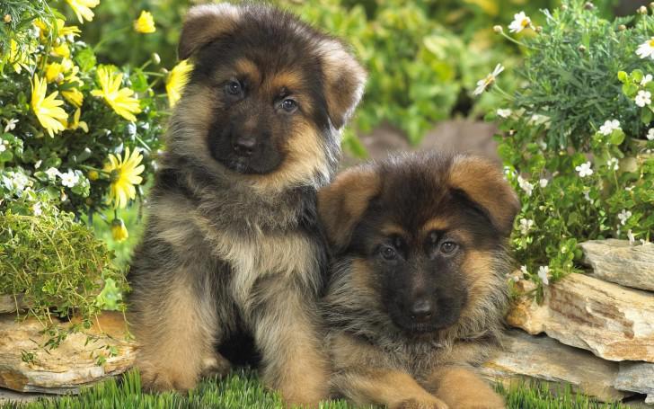 Уши щенка овчарки